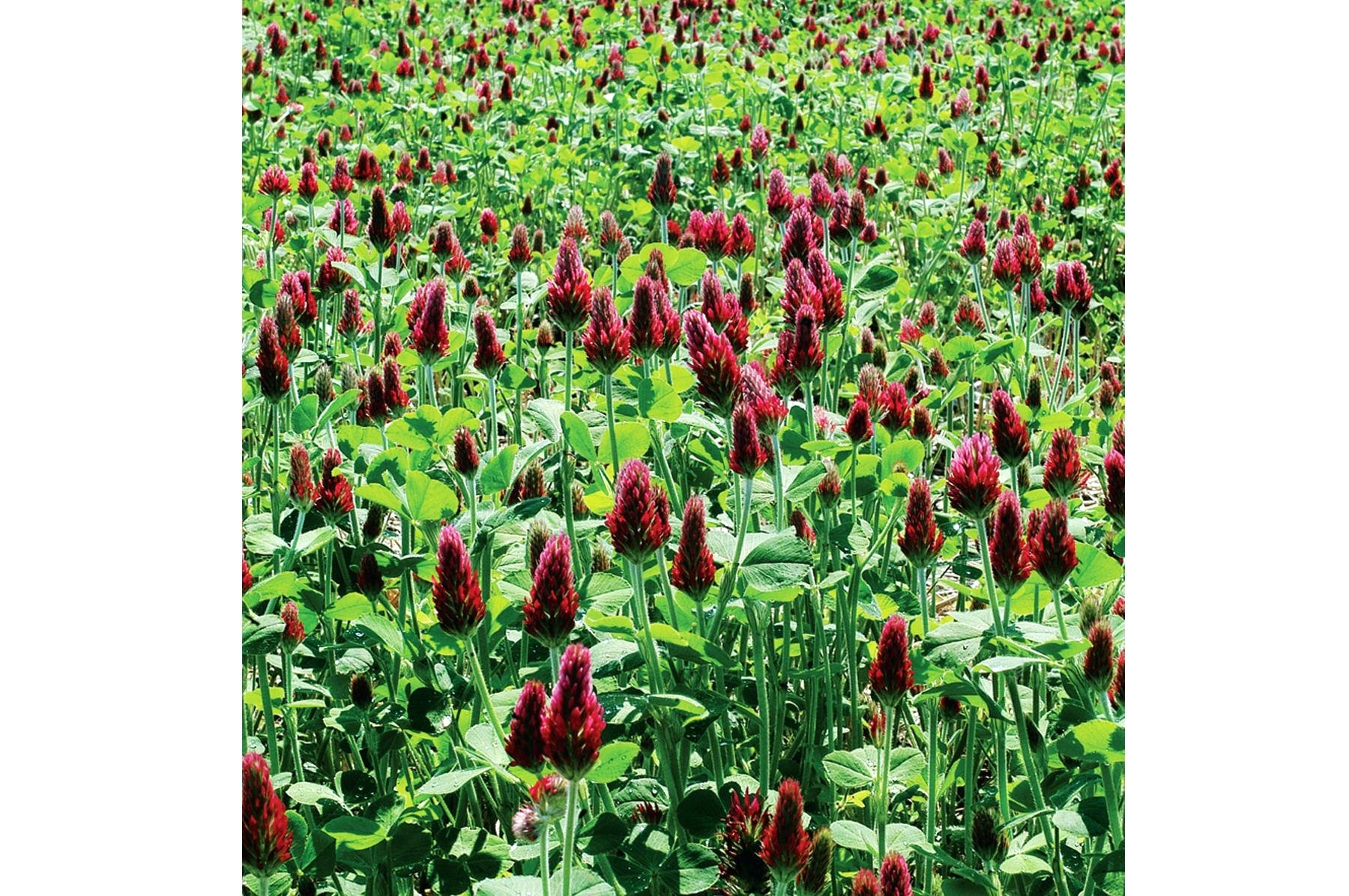 clover plant red care edible plants for sale near me