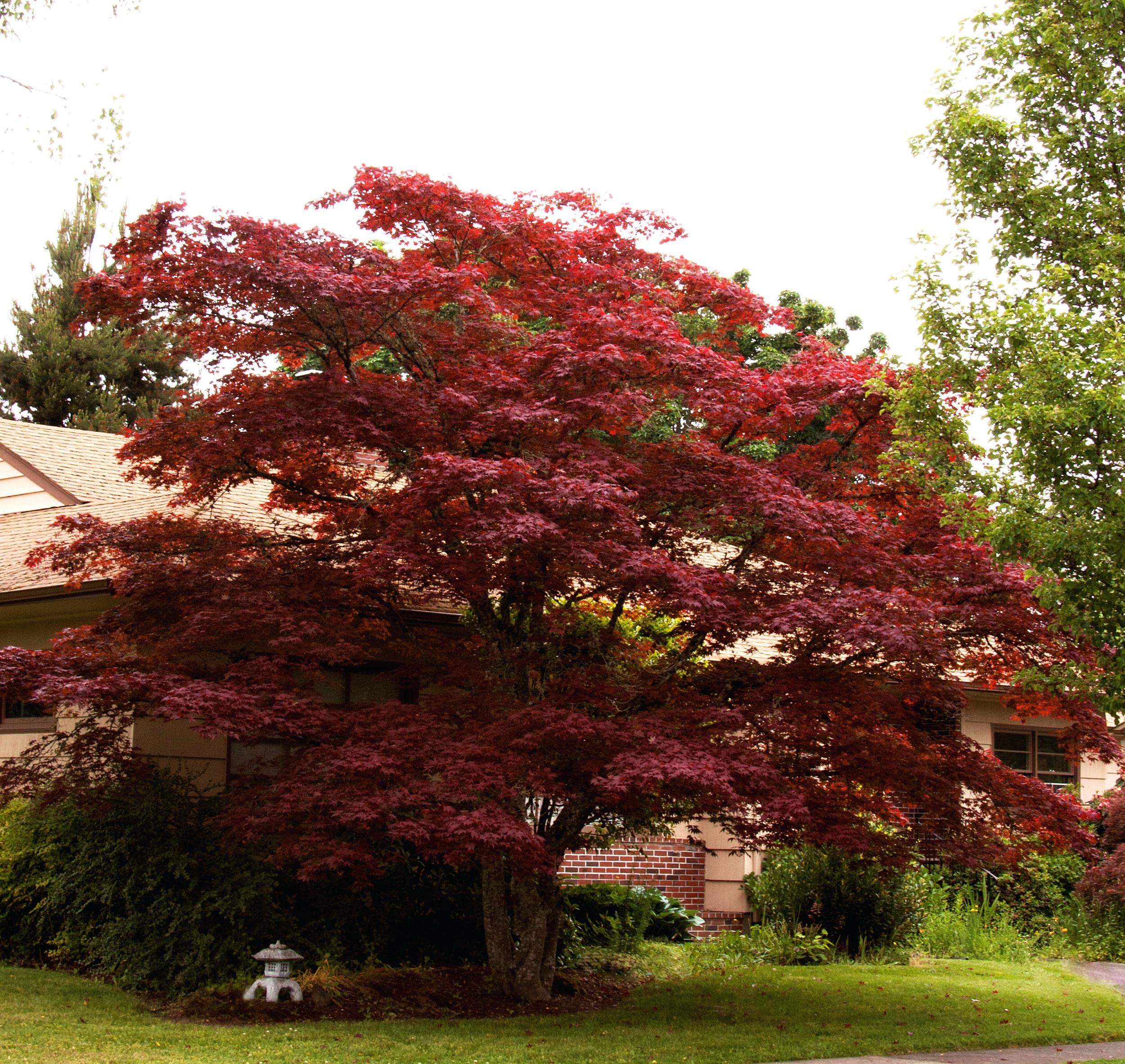 japanese maple trees green tree images for sale near me plant care