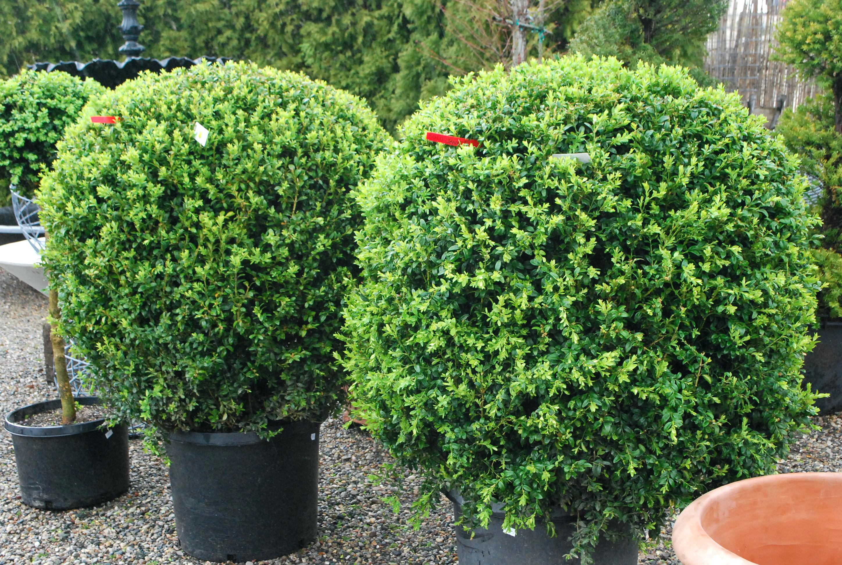 boxwood shrub oxwood shrubs care winter size for sale near me